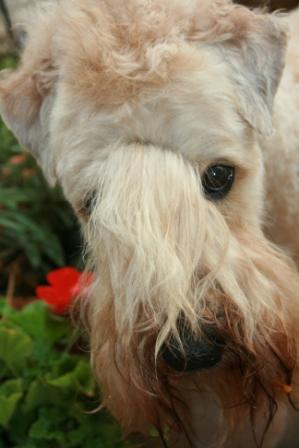 Boomer the Wheaten Terrier