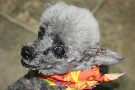 Poco the Tiny Poodle