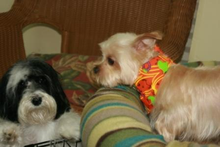 Koko the Yorkie Poo and Buffy the Havanese