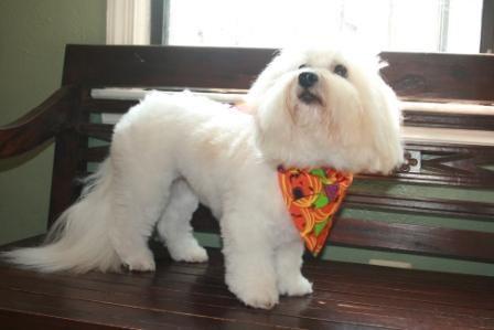 Simone the Coton de Tulear