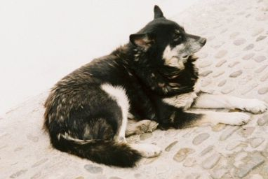 Andalusian Street Dog