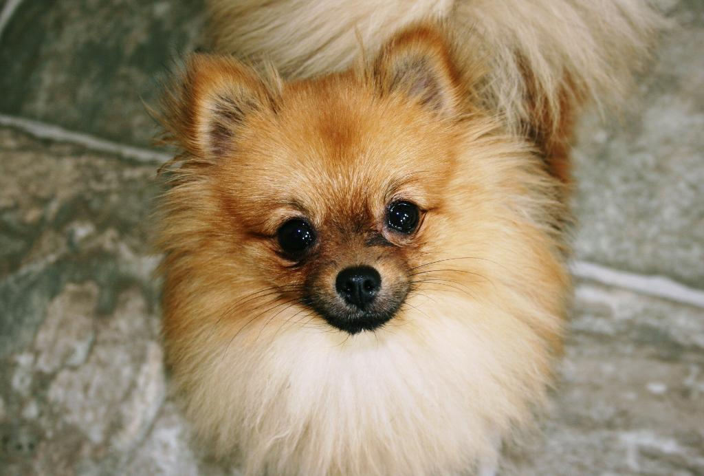 Millie the Pomeranian