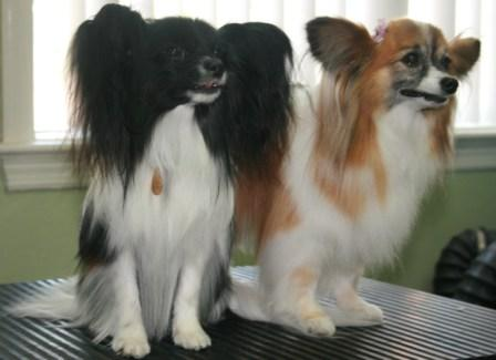 Tara and Squish the Papillons