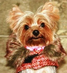 Adorable ZsaZsa the Yorkie