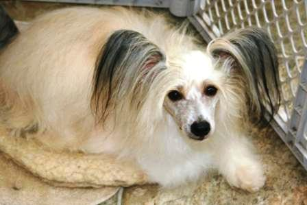 Chinese Crested (Powder Puff)